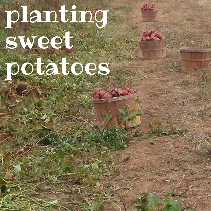 sweet potatoes in field with words