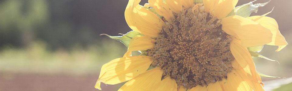 sunflower-slide